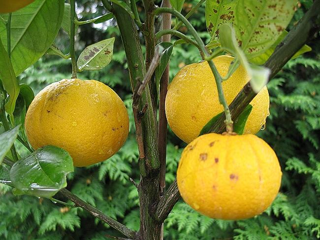 Apfelsinenbaum