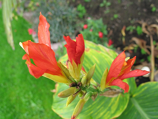 Canna Chinese Coral