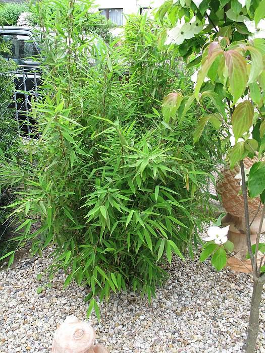 Bambus Fargesia murilae