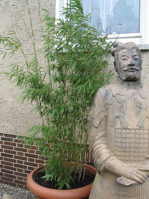 Bambus Fargesia robusta campbell