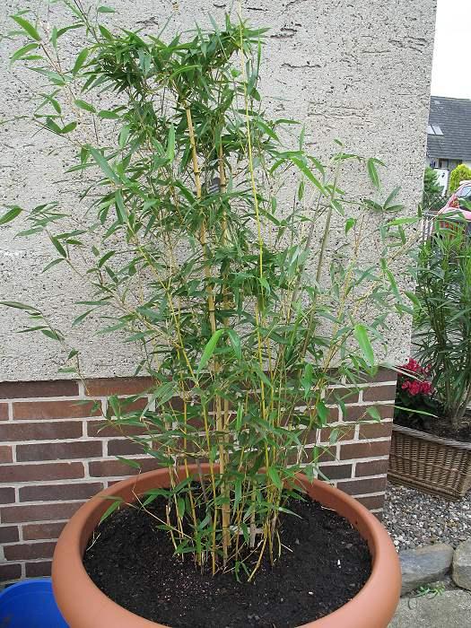 Bambus Phyllostachys Aureosulcata Aureocaulis