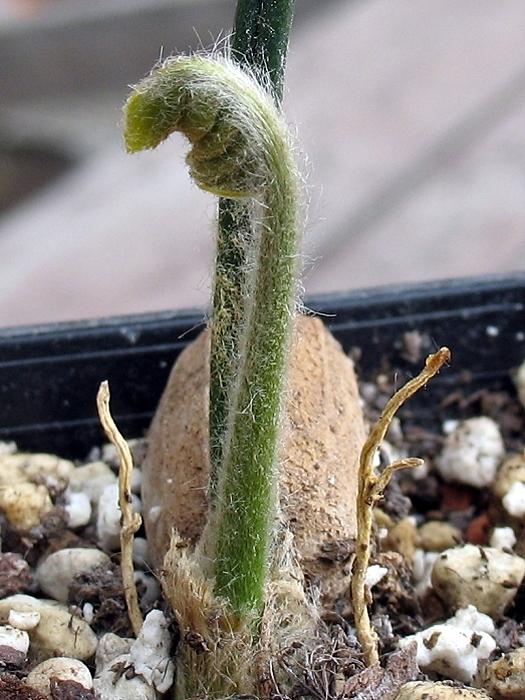 Encephalartos aplanatus