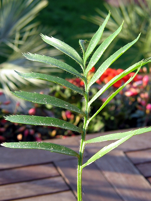 Encephalartos concinnus