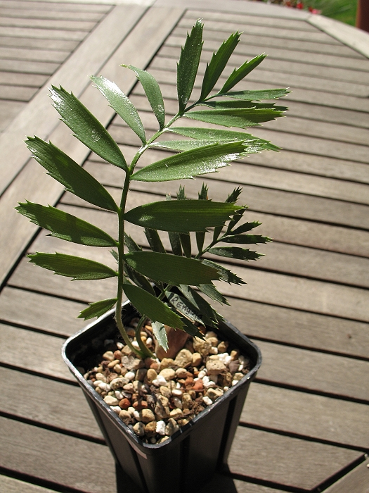 Encephalartos ngoyanus