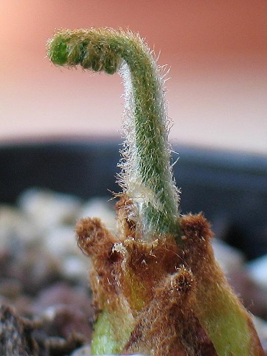Cycas diannanensis