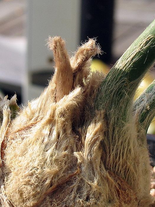 Encephalartos arenarius Austrieb