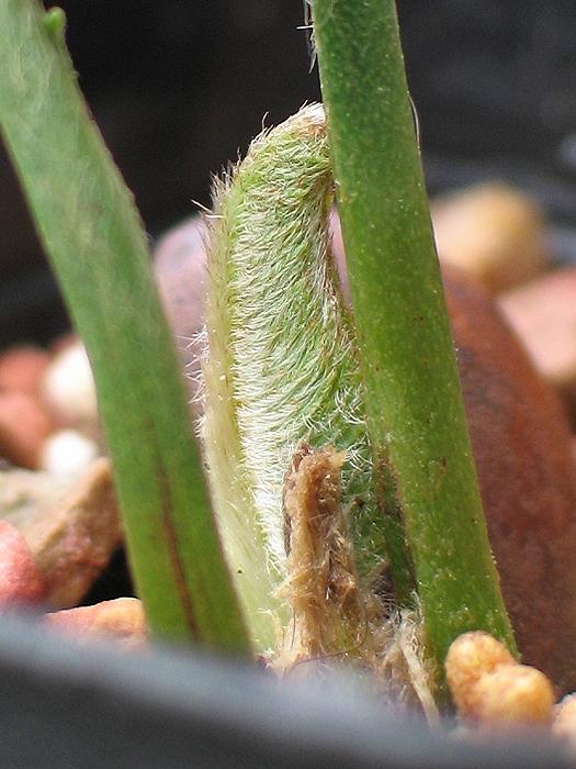 Encephalartos caffer