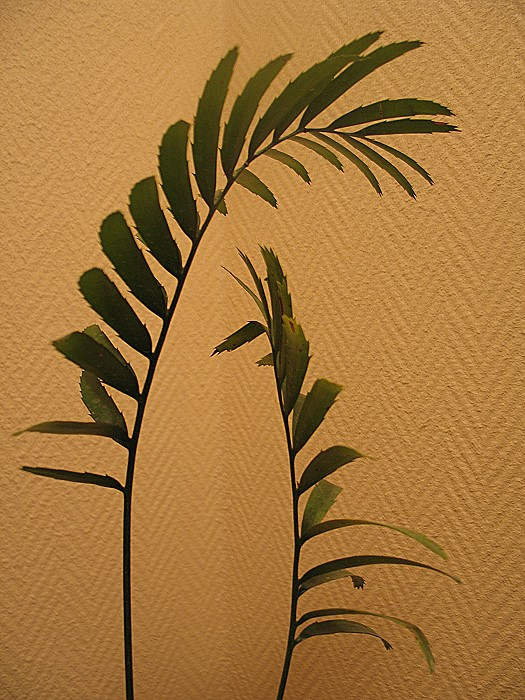 Encephalartos equatorialis