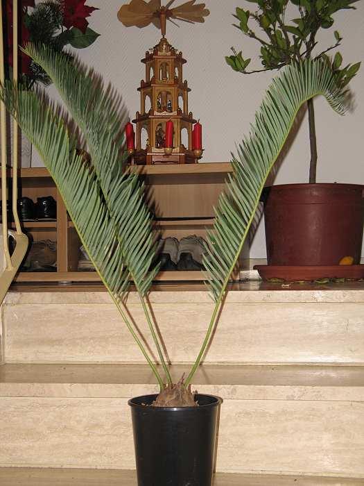 Encephalartos friderici guilielmi