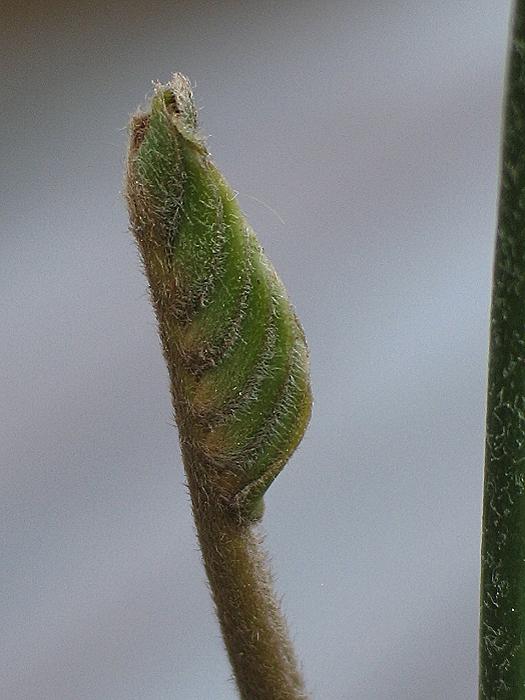 Lepidozamia hopei