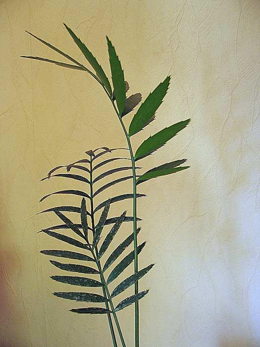 Encephalartos ituriensis