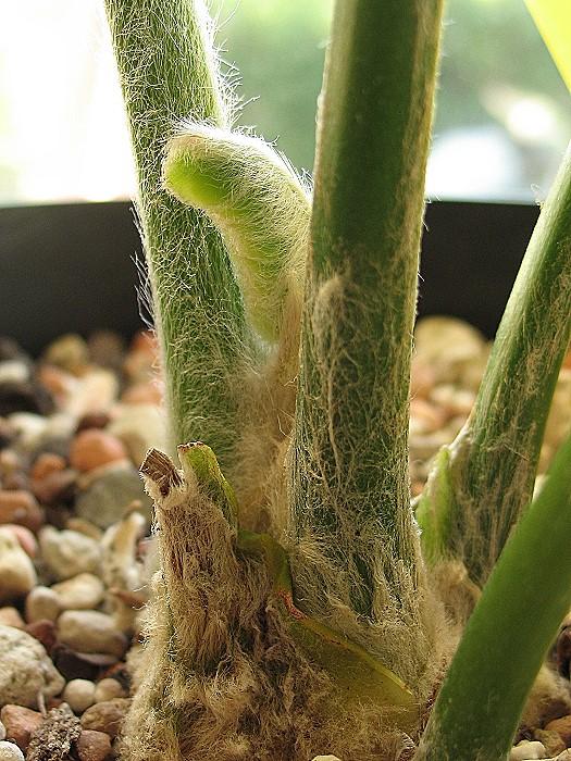 Encephalartos laurentianus