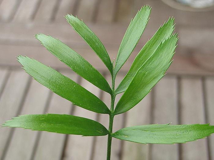 Encephalartos manikensis Form Bandula