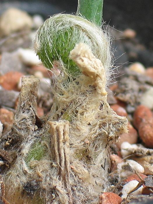 Encephalartos munchii