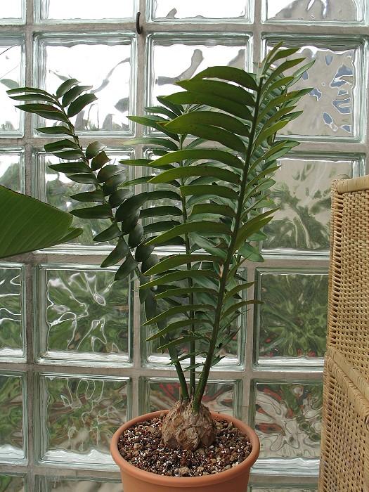 Encephalartos transvenosus