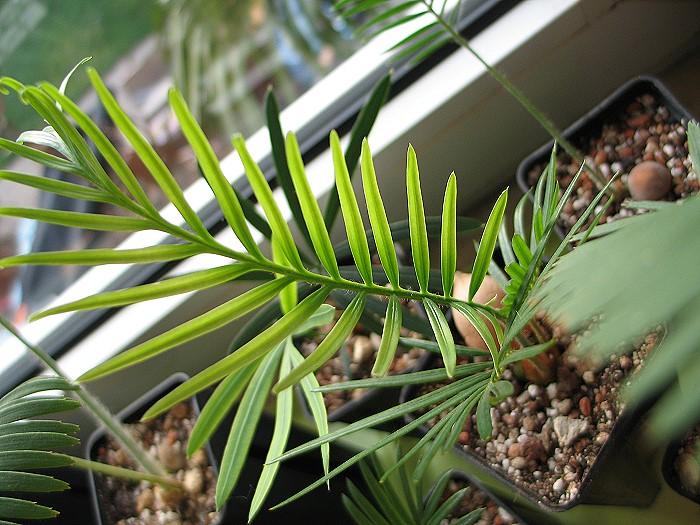 Cycas revoluta variegata x aurea Farbveränderung
