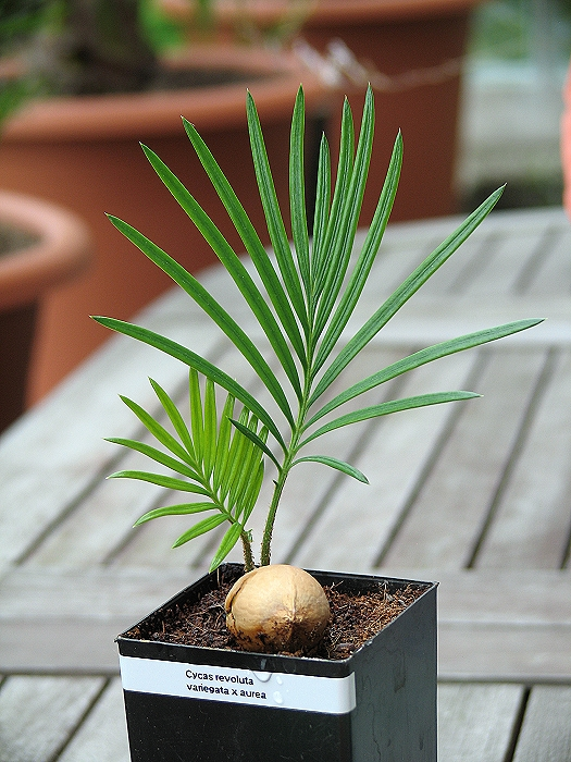 Cycas revoluta variegata x aurea