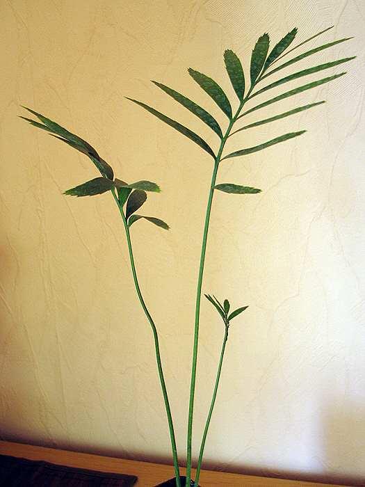 Encephalartos whitelockii